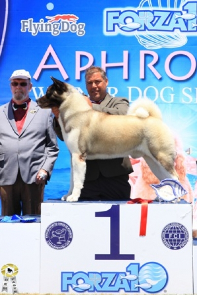 Cyprus Kennel Club 4 shows!!  4 CAC, 2 CACIB, 4 BOB, 3 BOG, 1X 2nd BOG, 2nd BIS, BIS, 3d BIS, 4th Best of the Best in Show!!!!Crufts 2016 Qualification, Aphrodite Winner 2015 & Cyprus Champion & MULTI Cyprus Champion & INTERNATIONAL CHAMPION!!!
